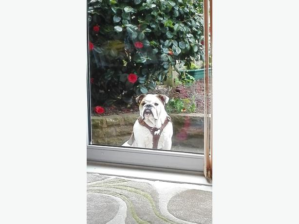 British bulldog pup 12 months old