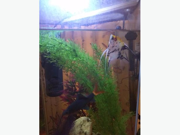 70l aquarium fishtank with 2 beautiful fish ready to go