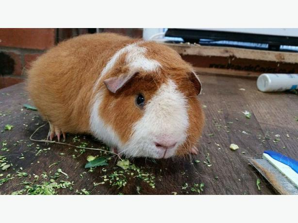 MALE TEDDY GUINEA PIG