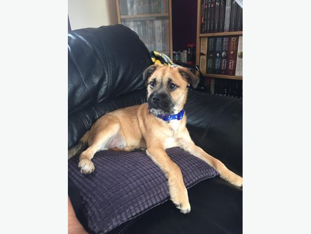 Male Jug puppy