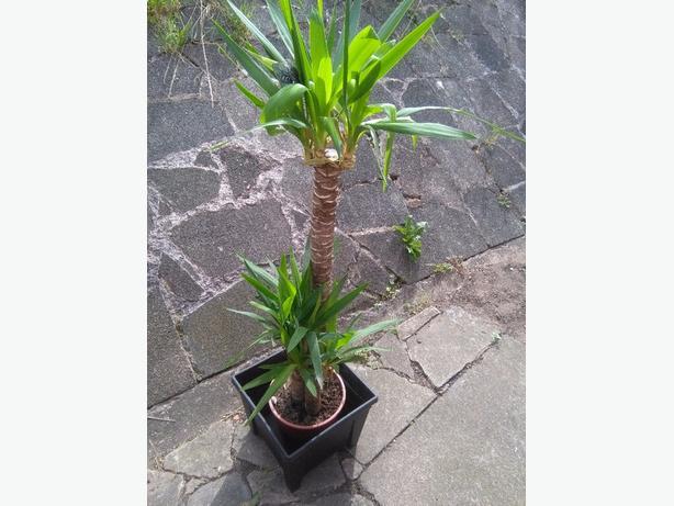 yukka plant 5 ft