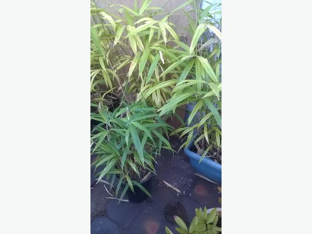 Bamboo for sale various sizes from £10-£20