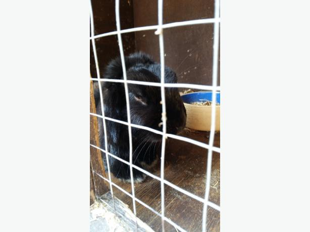 Beautiful friendly rabbit with hutch