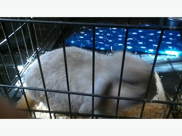 female mini lop rabbit