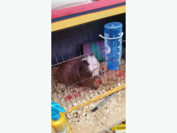 guniea pig free to good home