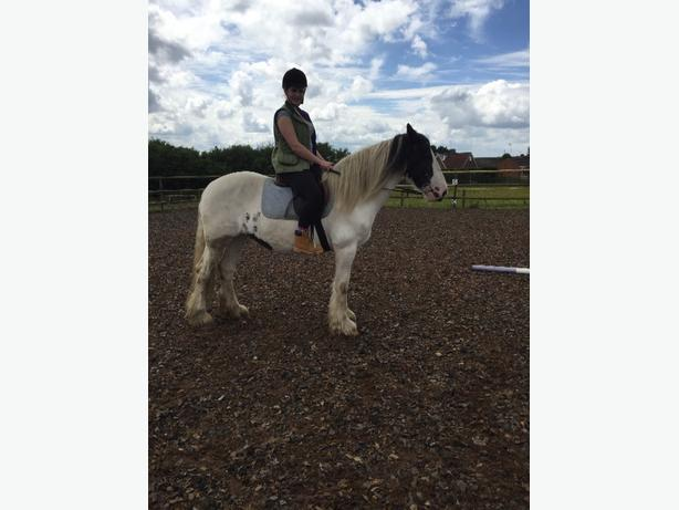 chloe 15hh riding mare