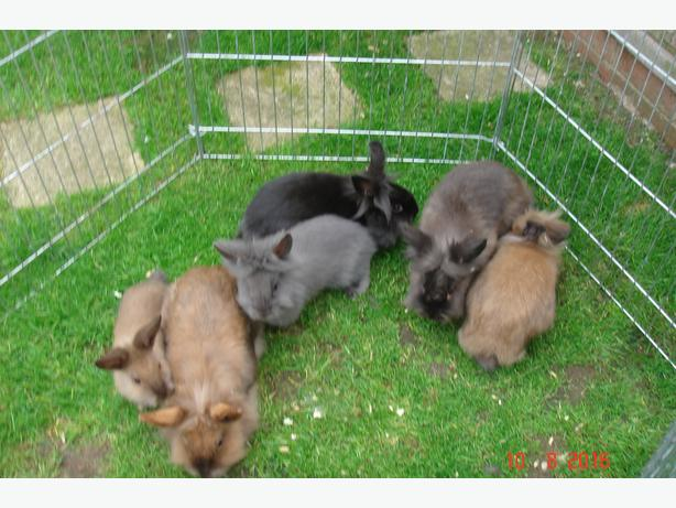 Lion head head young rabbits