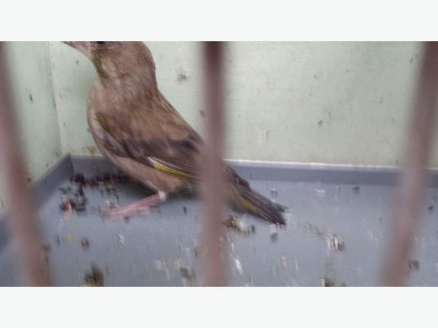 greenfinch hen