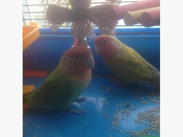 breeding pair of lovebirds