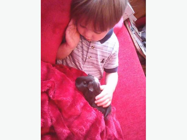 guinea pigs for sale with or without Cage offers