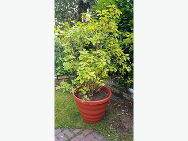 large liac tree in pot