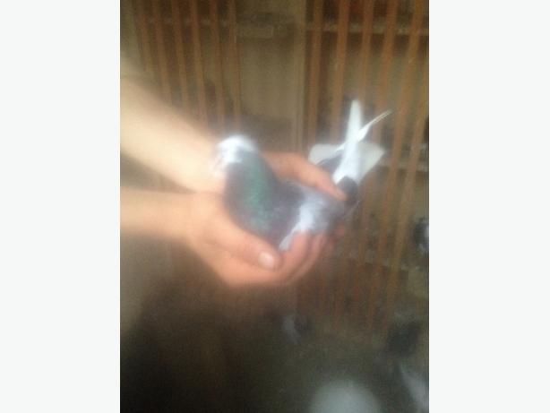 pigeons tumblers