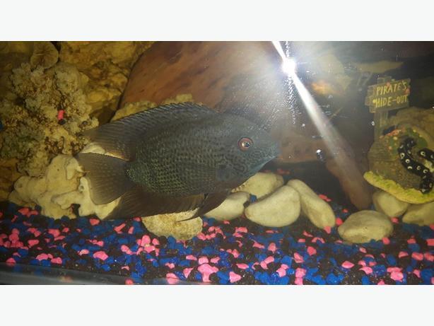 trade tropical  fish/ 2 severums cichlids
