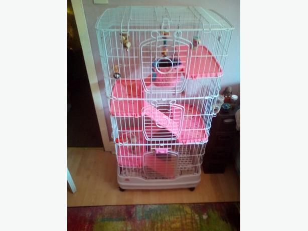Chinchilla with cage for sale