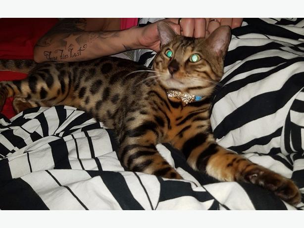 full pedigree bengal cat 11 months