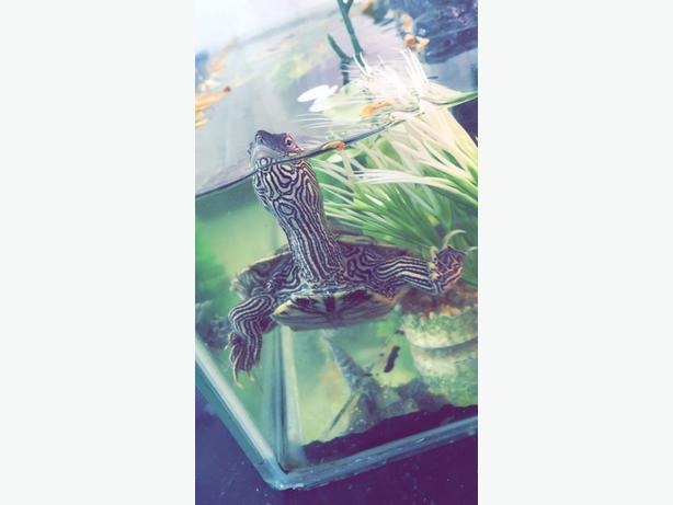 TURTLE WITH TANK £80 CHEAP