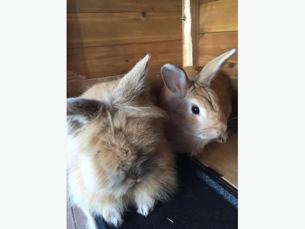 two rabbits for sale
