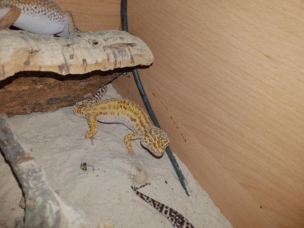  Log In needed £100 · leopard gecko group