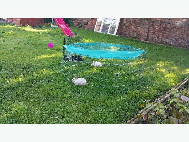 2 mini rabbits plus outdor garden cage