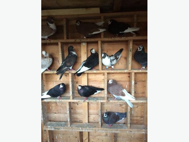 31 mixed pigeons