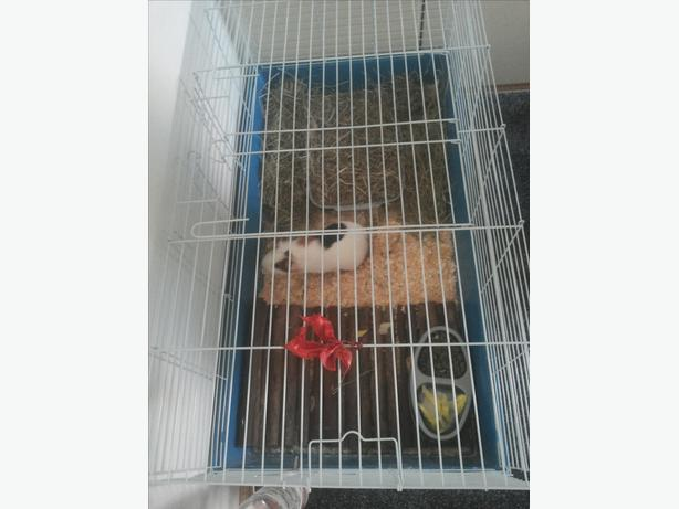 Cute Guinea pig with large cage