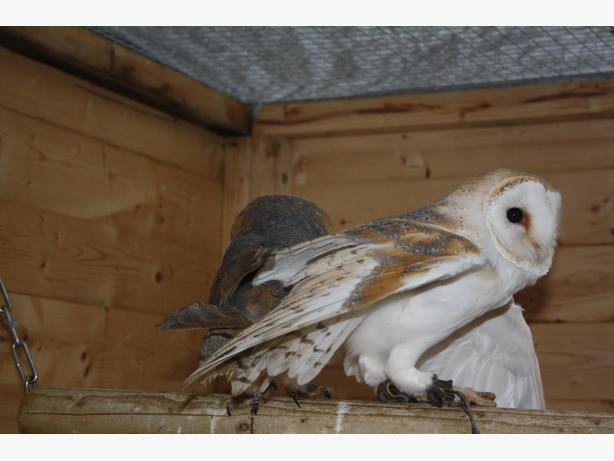 2014 MALE & FEMALE BARN OWLS CLOSE RINGED WITH A10's FED ON A TOP QUALITY DIET