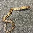 False Water Cobra Babys - CB16