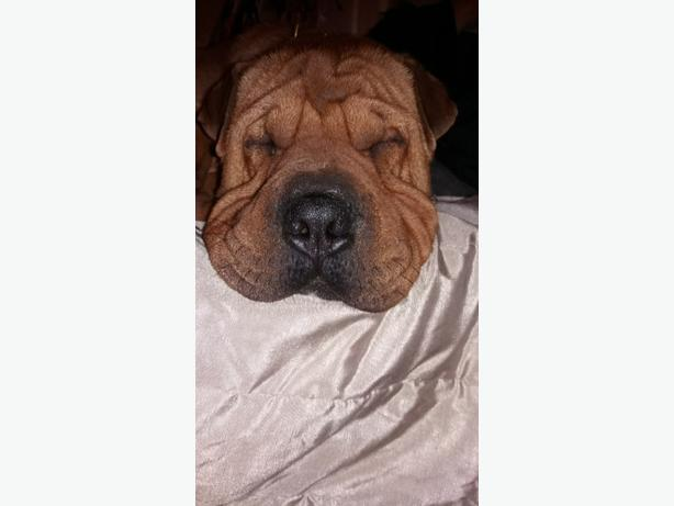Boss, Shar-Pei x Wrottwiller for rehoming