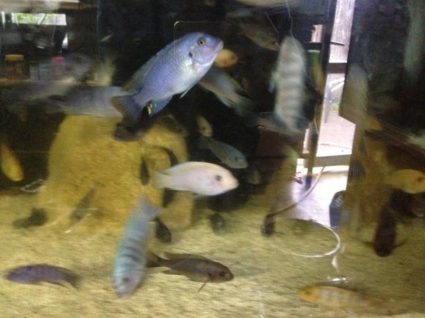 cichlids,plecs,goldfish