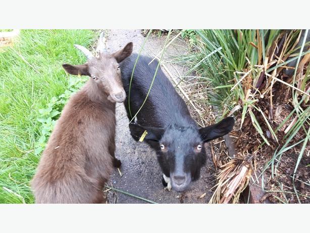 2 sister pygmy goats