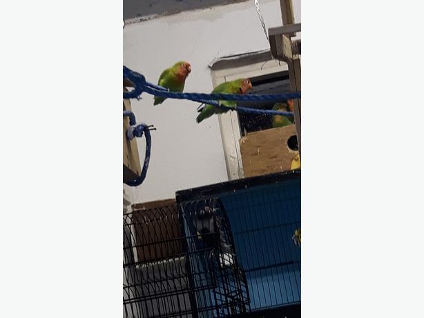 breeding pair of love birds