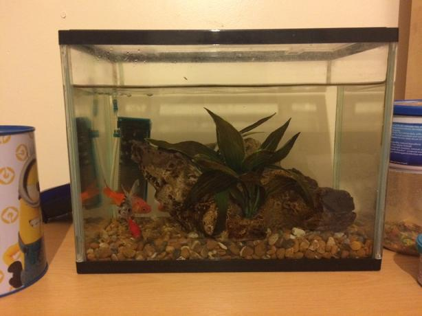 5 gold fish with tank