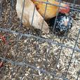 3 Serama Chickens & House