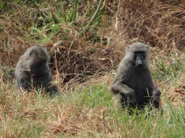 8 Days Rwanda Gorillas, Chimpanzees, Primates and Cultural  Tour in Rwanda