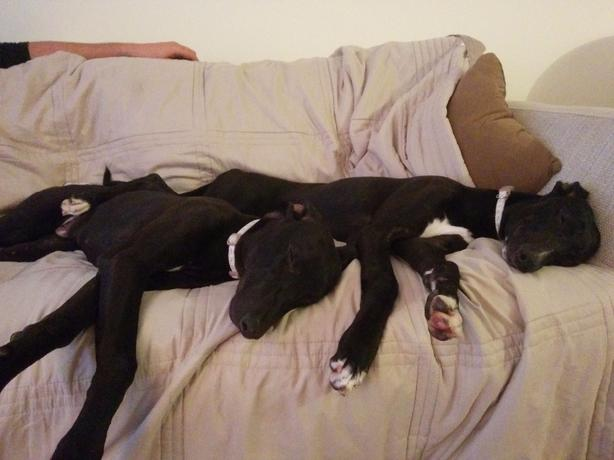 extremely Loving greyhound x whippets black and white