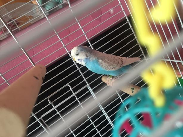 rainbow bird budgie