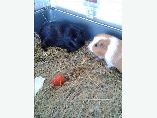 two pretty guinea pigs