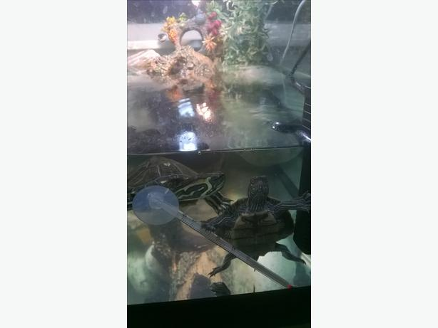 two terrapins n tank set up