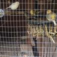 canaries and quails