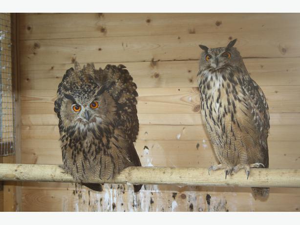 PAIR OF 2013 EURASIAN / EUROPEAN EAGLE OWLS