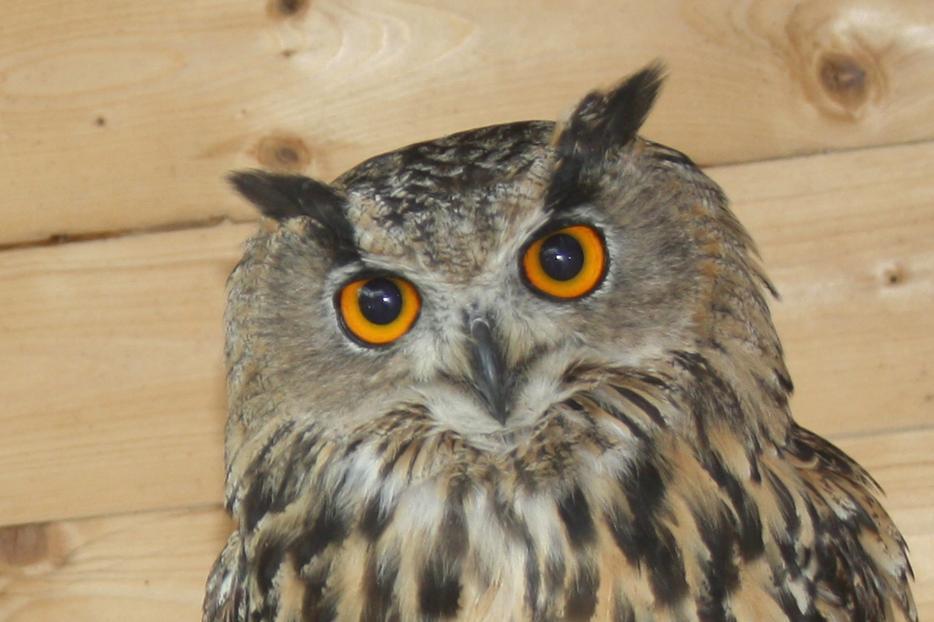Pair Of 2013 Eurasian European Eagle Owls Stourbridge