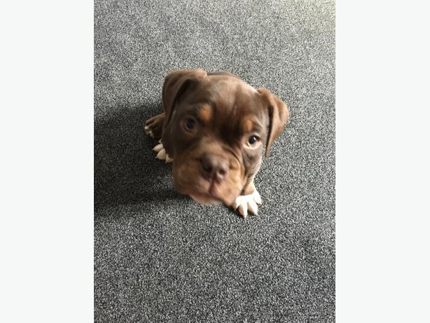 chocolate bulldog male