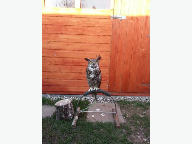 for sale great horned owl