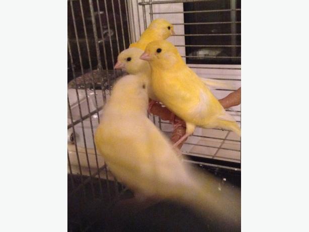 babys canarys