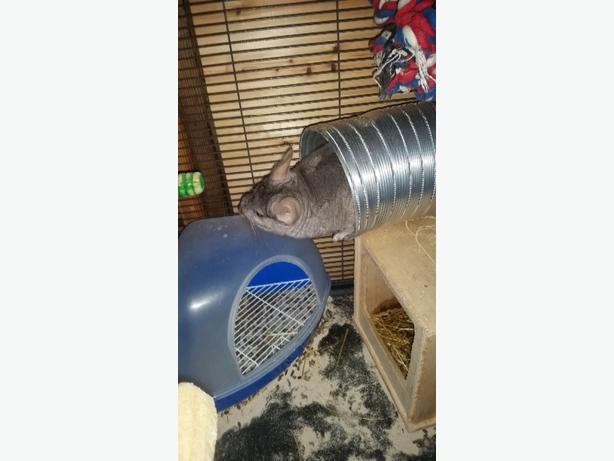 Male chinchillas