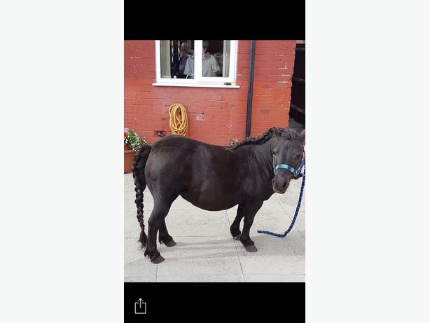 shetland mare pony