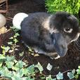 Pure Bred Show Quality Mini Lops