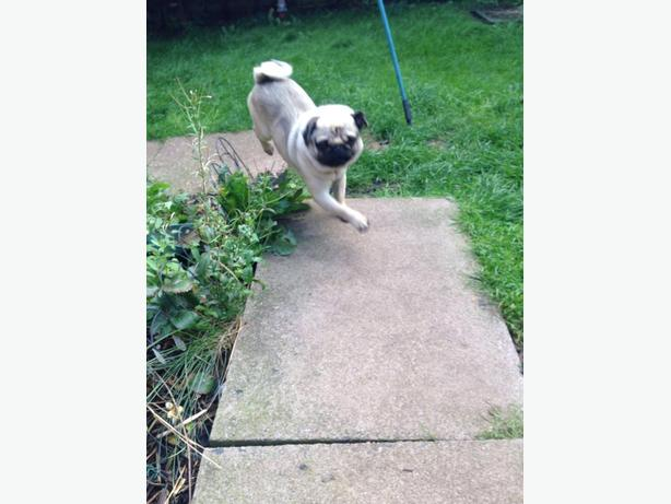 ** BEAUTIFUL FAWN PUG FOR SALE **