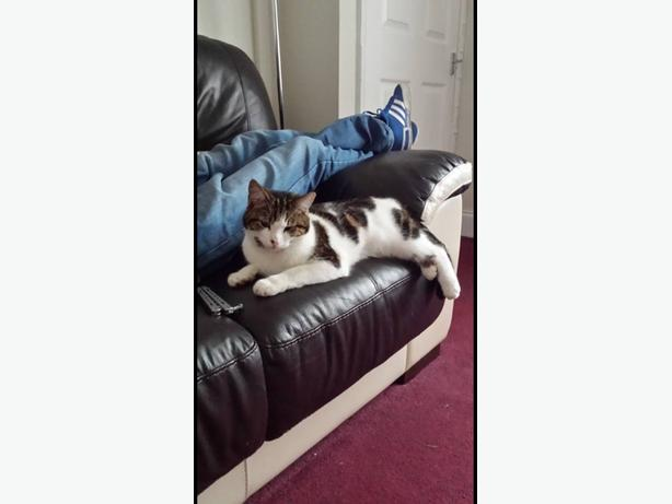 Lost cat white with tabby