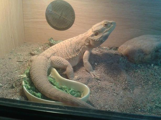 Bearded dragon + Viv